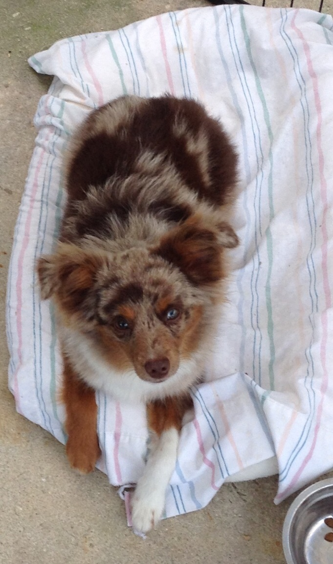 HotDawg - Tiny Toy Red Merle Male